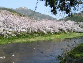 桜並木と川写真